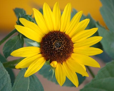 sunflower xmas